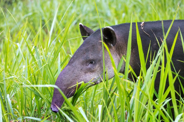 Baird's tapir in Corcovado National Park @ Matteo Colombo/Getty
