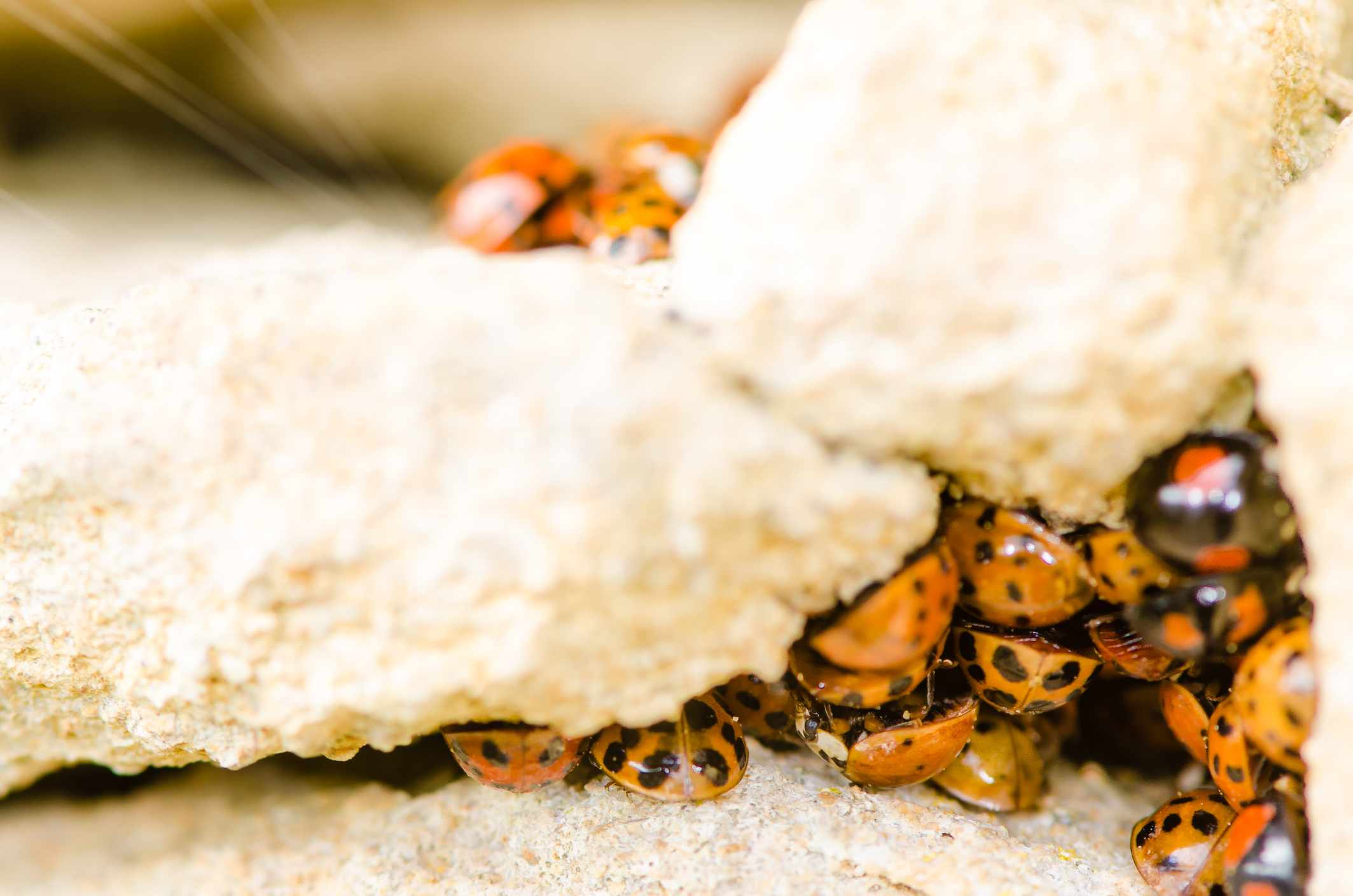Harlequin ladybirds emerging on a sunny spring day in the UK. © Ian Redding/Getty