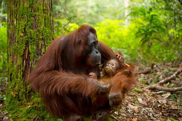Female orangutan and baby in the forest. © Kate Photographer/Getty