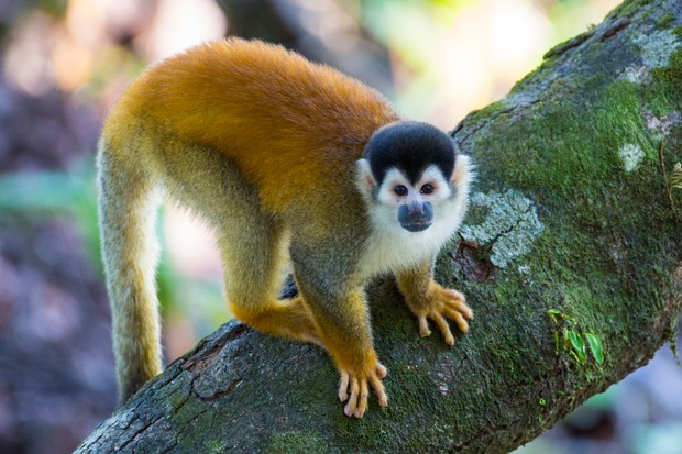 Red-backed squirrel monkey @ Kryssia Campos/Getty