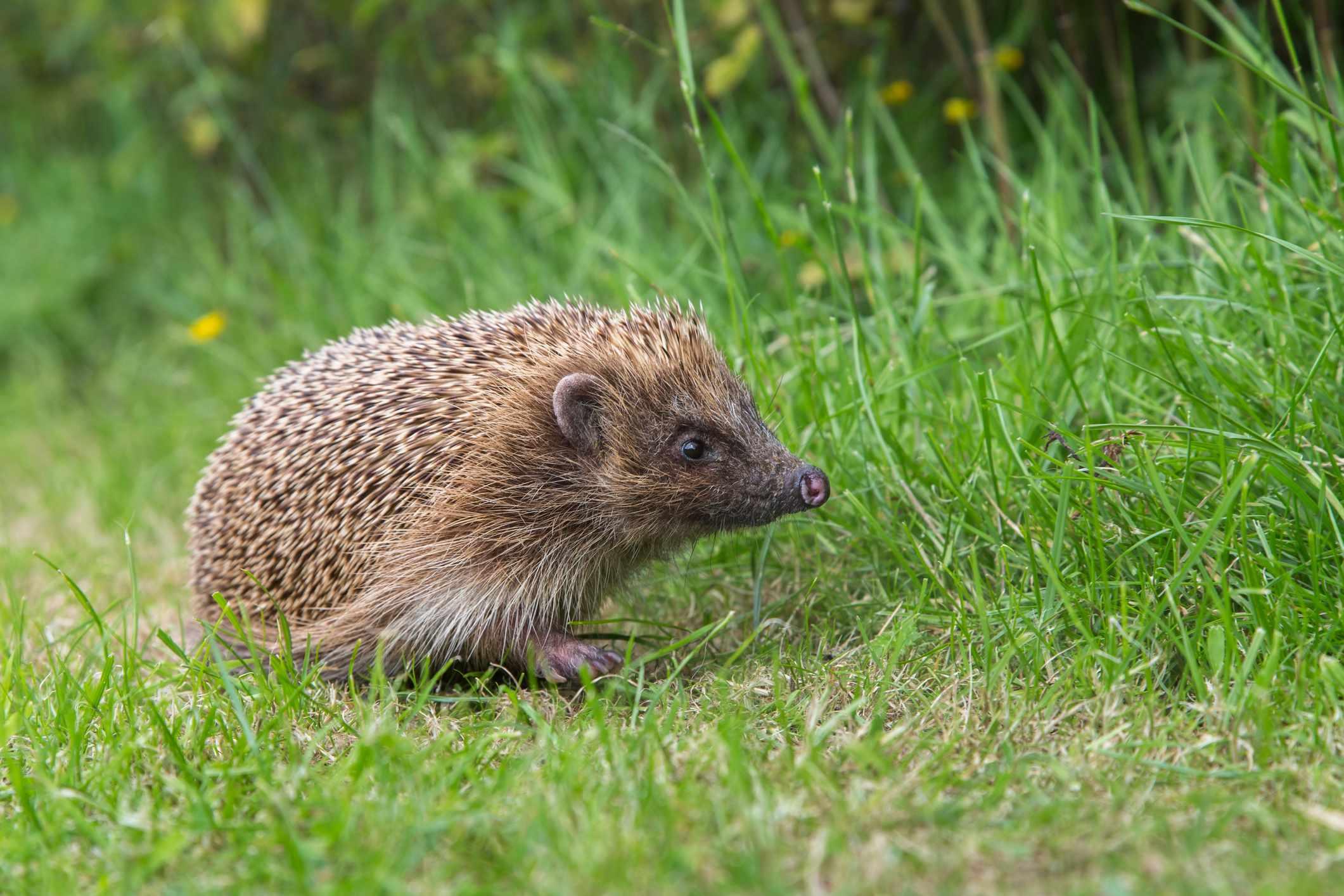 Hedgehog @ Ann & Steve Toon/robertharding/Getty