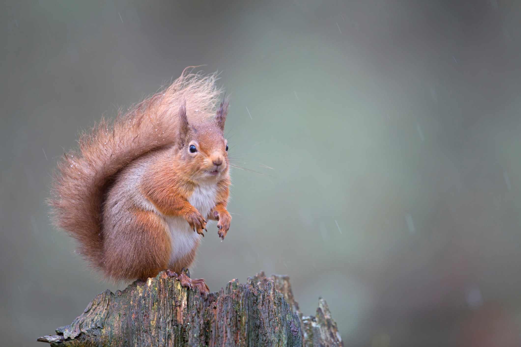 Red squirrel Sciurus vulgaris, sitting in forest, Cairngorms National Park, Scotland, February