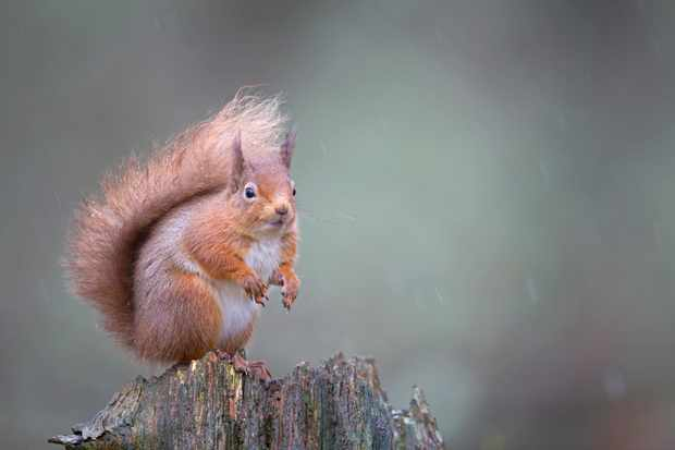 Red squirrel Sciurus vulgaris, sitting in forest, Cairngorms National Park, Scotland, February
