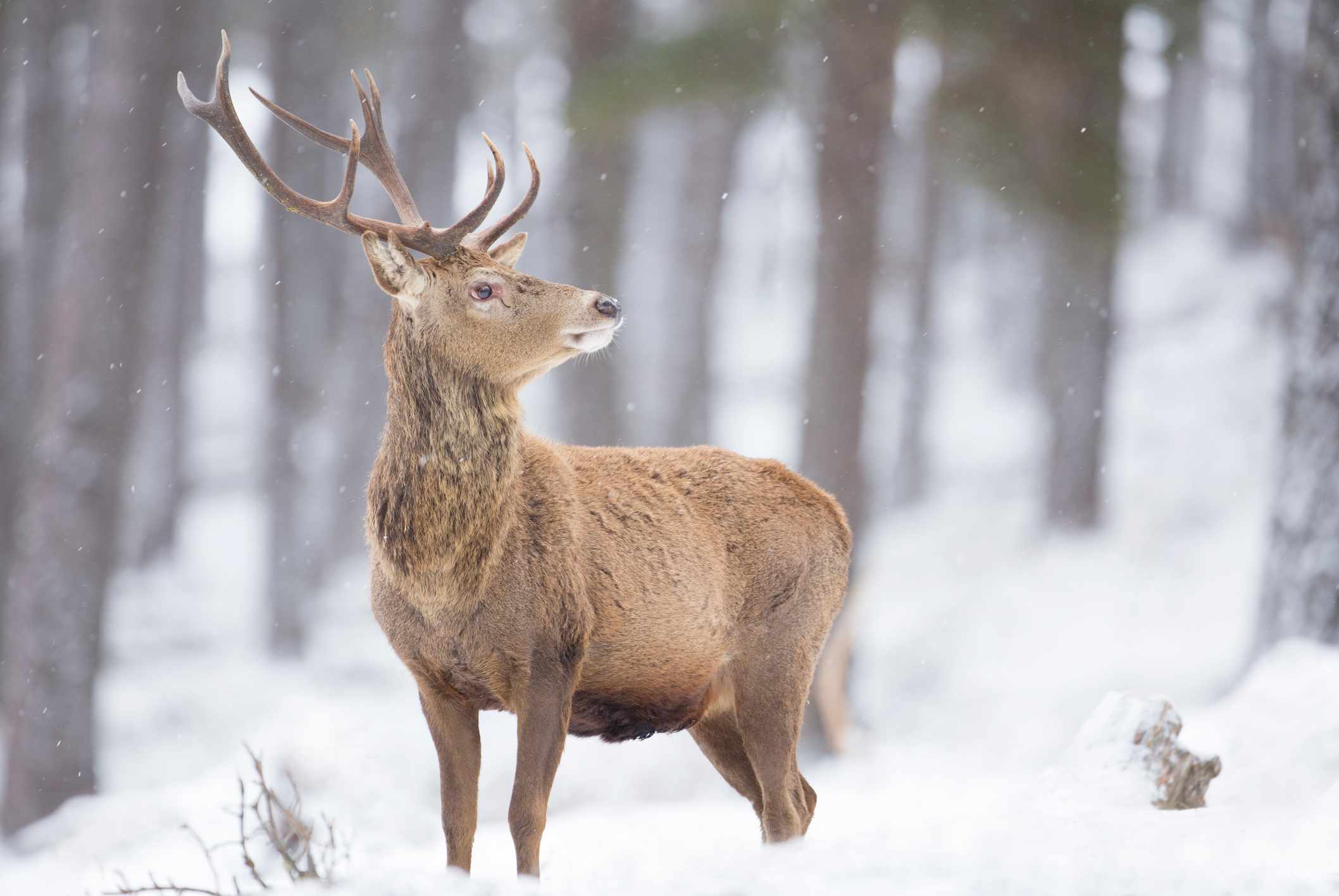 Red deer in the snow in the Scottish Highlands. © James Silverthorne/Getty