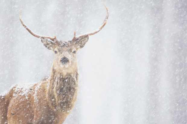 Red deer stag in heavy snowfall, Scotland. © James Silverthorne/Getty