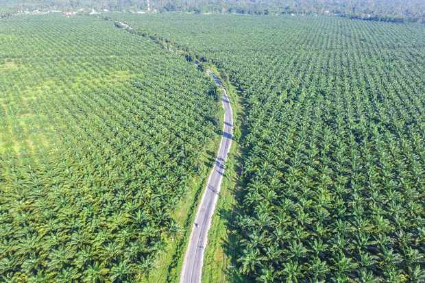 A palm oil plantation on the island of Sulawesi in Indonesia. © adiartana/Getty