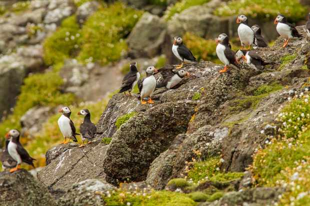 A flock of Atlantic puffins @ Brais Seara/Getty