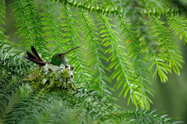 Rufous-tailed Hummingbird (Amazilia tzacatl) nesting in Costa Rica