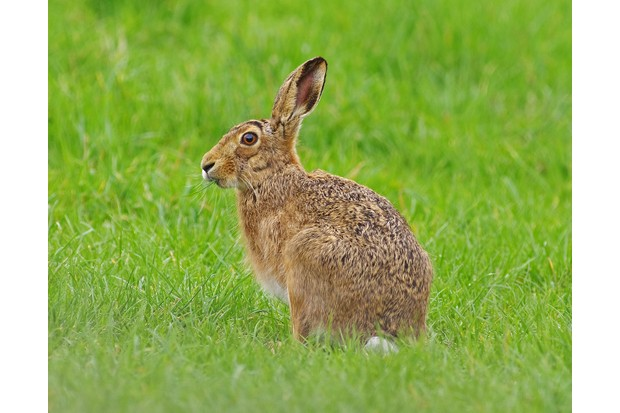 European brown hares can be distinguished from rabbits by their long black-tipped ears and larger size. © Gary Chalker/Getty