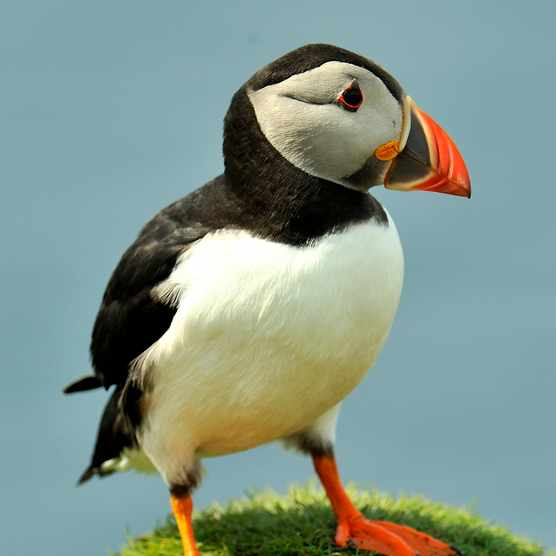 Atlantic puffin in Scotland @ Claude Thouvenin/Getty