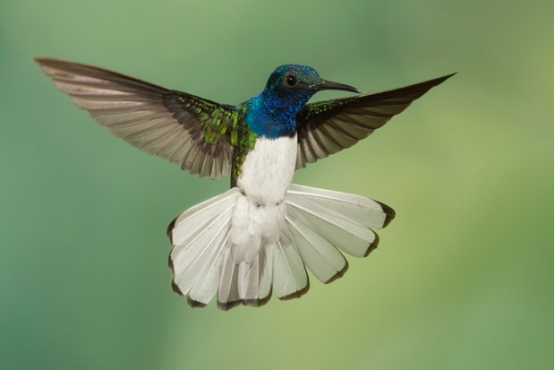 White-necked jacobin (Florisuga mellivora) male in flight extending his tail at the lowlands of Costa Rica