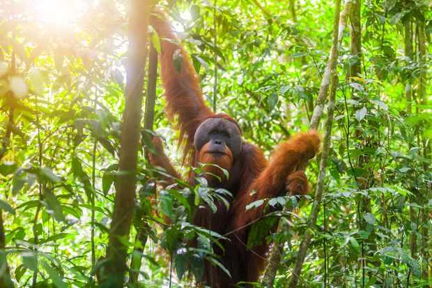 An orangutan in Bukit Lawang National Park,on the island of Sumatra in Indonesia. © Anton Petrus/Getty