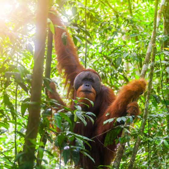 Orangutan guide: species facts, diet and best places to see - Discover  Wildlife