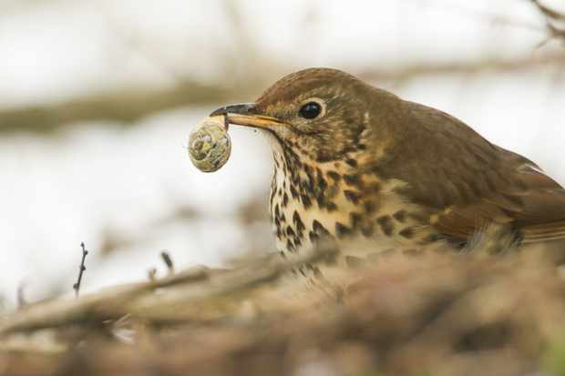 A song thrush with a snail in its beak. @ Sandra Standbridge/Getty