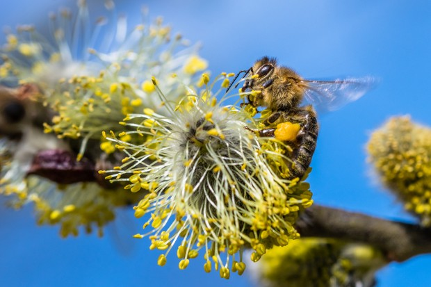 The goats willow catkins provide an early source of pollen and nectar for bees and other insects. © Jan Rozehnal/Getty.