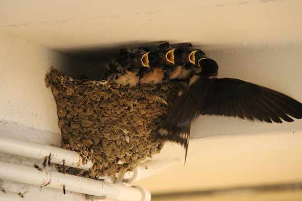 A group of small swallows in the nest. © Giuseppe Zanoni/Getty