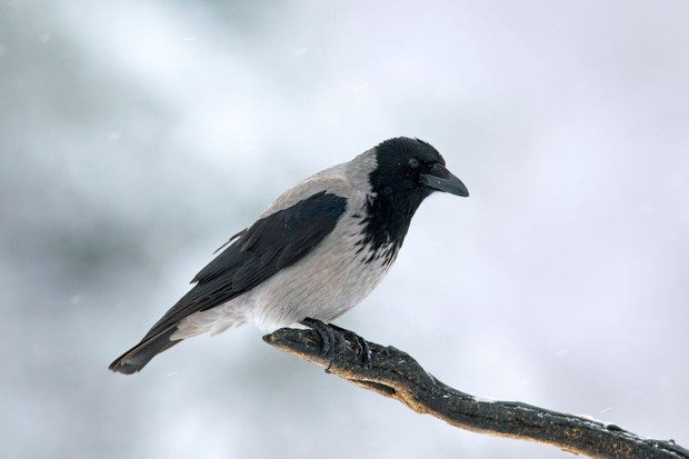 Hooded crow perched on branch in winter during snowfall. © Arterra/UIG/Getty