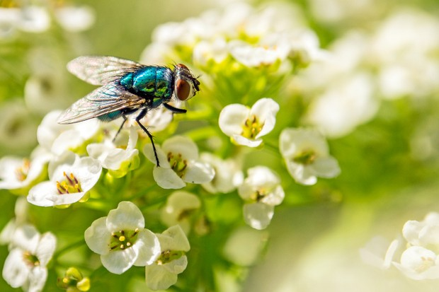 Bluebottle flies are pollinators, not simply a nuisance. @ Edvard - Badri Storman/Getty