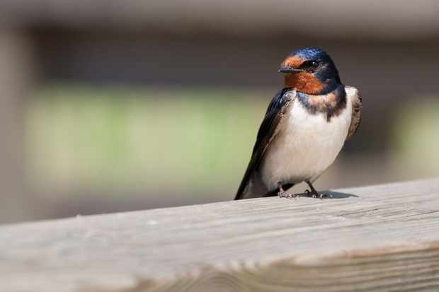 Swallow resting on a fence. © Toni Poikeljärvi/Getty