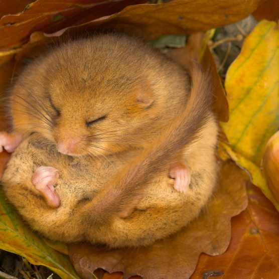 Hibernating_dormouse_Danny_Green_unrestricted_use_please_credit