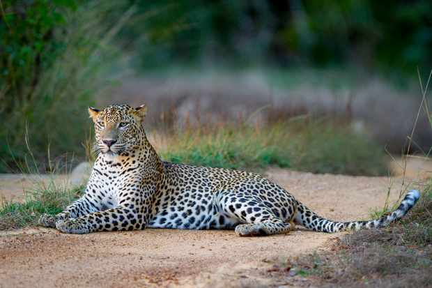 Leopards thrive in more environments than any other wild cat. From the deserts of Southern Africa, to the Boreal forests of Russia, even the bustling suburbs of Mumbai in India.