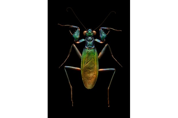 Iridescent bark mantis. The spectacular metallic colours of this species are very unusual for a mantis; also atypical is the wide front femur armed with a large, dagger-like spine. © Levon Biss