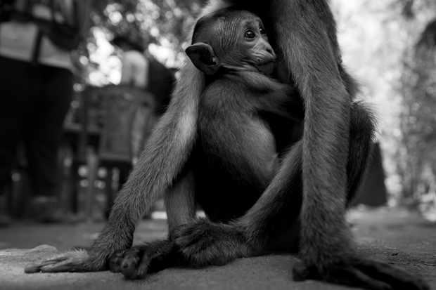 Toque macaque © Joseph Gray