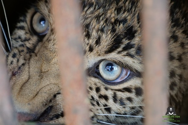 A close-up of the female leopard in the cage. © Wildlife SOS, India