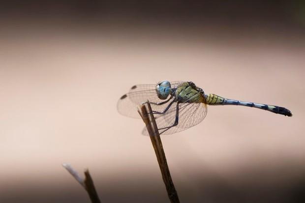 Female blue percher dragonfly © Lewis Easdown