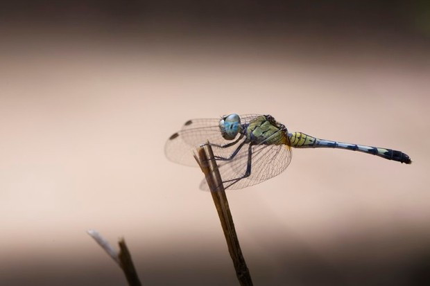 Female blue percher dragonfly © Lewis Easdown