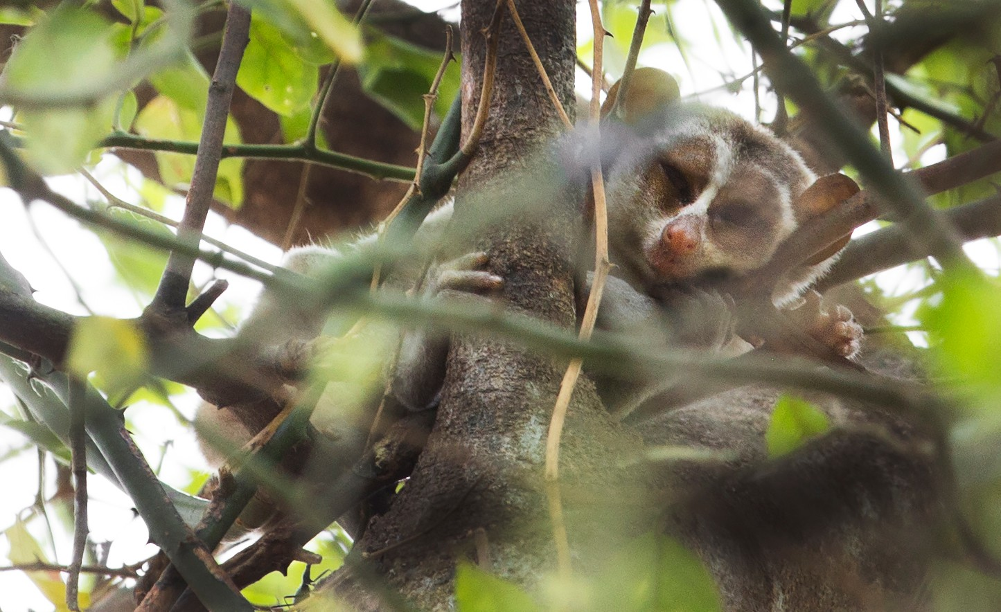 Lewis Easdown - Grey Slender Loris - Project Loris -
