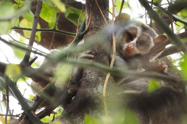 Rare daytime sighting of grey slender loris © Lewis Easdown