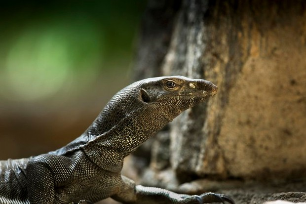 Ground monitor lizard © Lewis Easdown