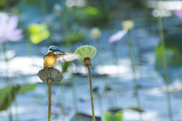 Common kingfisher © Lewis Easdown