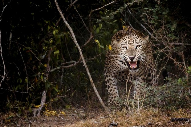 Leopard © Lewis Easdown