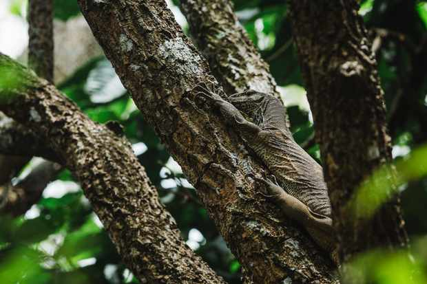 Ground monitor lizard climbing a tree © Lily Anna Sparrow