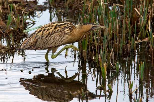 Bittern in Lea Valley. © Mark Braun