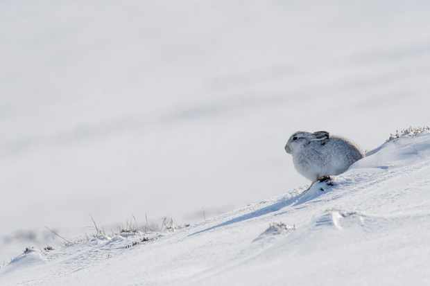 Mountain hare in the snow. © Karen Miller Photography.