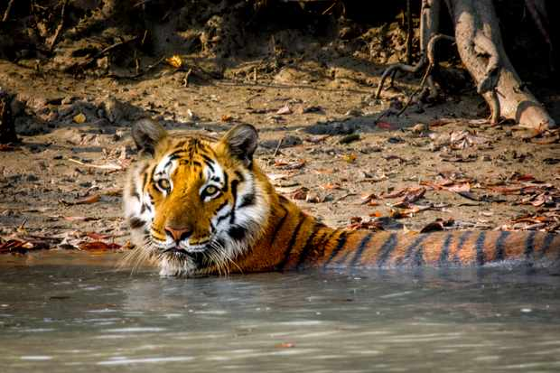 Tigers are the biggest of all the cats - from the giant siberian tigers that roam the frozen boreal forest of russia, to the secretive 'swamp' tigers of the Indian Sundarbans that bathe in seawater and patrol muddy shores.