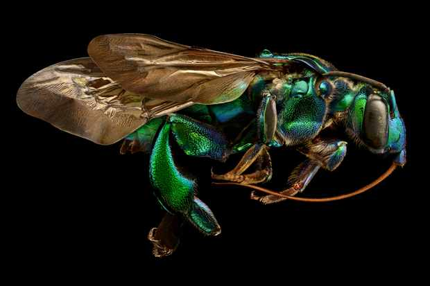 Orchid cuckoo bee. The orchid cuckoo bee is one of the most spectacular of all bees in terms of size, colour, and microsculpture. © Levon Biss