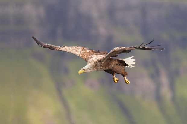 White-tailed eagle in flight, photographed in Skye, Scotland. © Pete Cairns/2020Vision/Scotland: The Big Picture