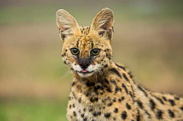 A serval, South Africa. Proportionally, they have the longest ears and legs of any cat, and are adapted to detect and leap for prey amongst tall savanna grass.