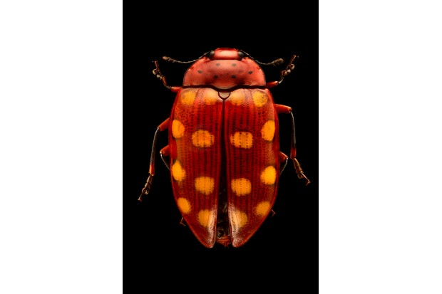 Pleasing fungus beetle. Close relatives of the ladybugs, pleasing fungus beetles often have conspicuous markings in various combinations of bright colours, spots, stripes, and other patterns. © Levon Biss