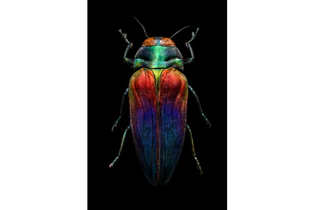 Tricoloured jewel beetle. This specimen was collected by the Victorian naturalist and explorer Alfred Russel Wallace in Seram between October 1859 and June 1860. © Levon Biss
