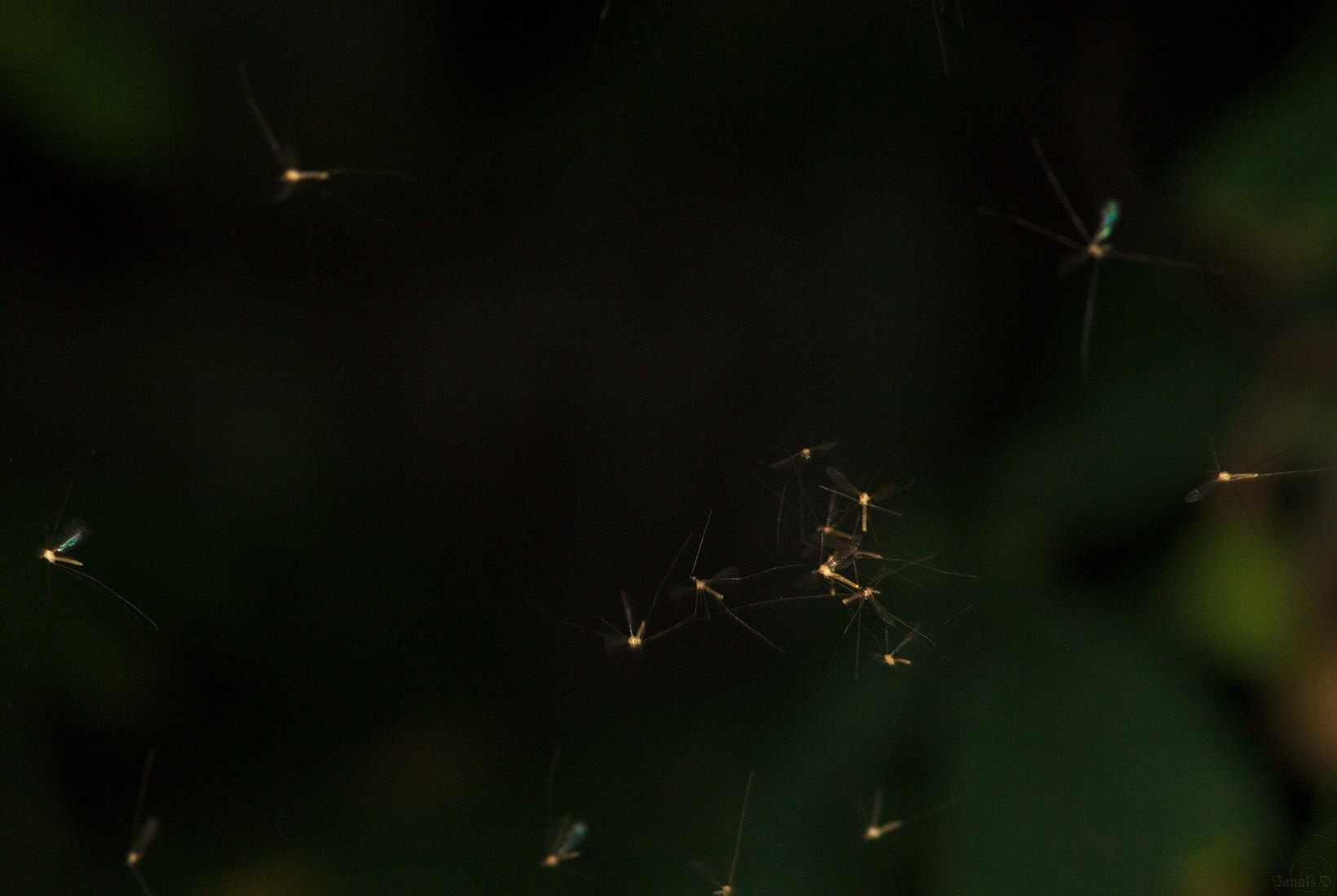 Winter gnats. © Buglife