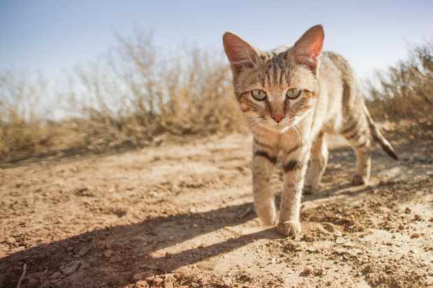 The African wildcat is one of the most widespread of all cats, ranging from the middle east to the southern tip of Africa, and is the ancestor of the domestic cat. © BBC