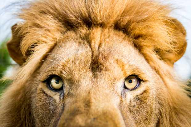 Lions are iconic animals… but they're strange too. They are the only cat to live in groups. In numbers they find the strength and cooperation to hunt the most formidable prey, including bison, giraffe, and even elephants.