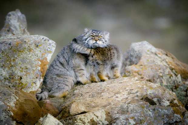 Pallas's cat thrive in the remote grasslands of the Mongolian steppe. They are perfectly adapted to hide in this open landscape - they have a wide head, low ears, and can flatten their bodies to look like a rock when hunting.
