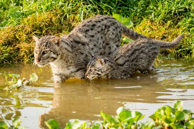 Fishing cats are suited to a life in the wetlands of Asia. Beneath a long outer coat they have a short layer of insulating fur that acts like a wetsuit - and they have partially webbed feet.