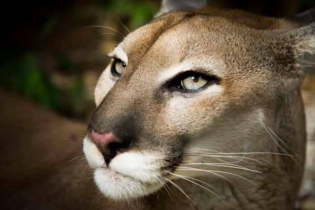 Pumas are the widest ranging mammal in the Americas, thanks to their extraordinary adaptability and an eye for opportunity. On the southern tip of Patagonia, they even stalk the most unlikely of prey… penguins!